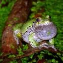 Gray treefrog calling