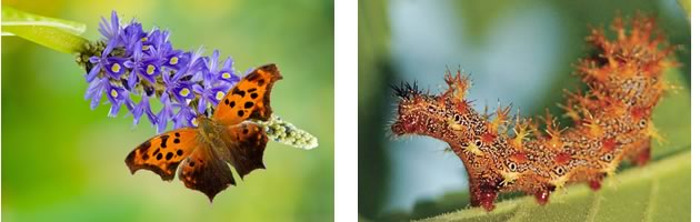 First, if you can, plant caterpillar-friendly gardens known to attract particular species. Hops and elm for question marks.