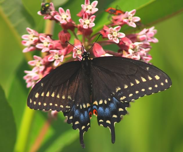black swallowtail featured