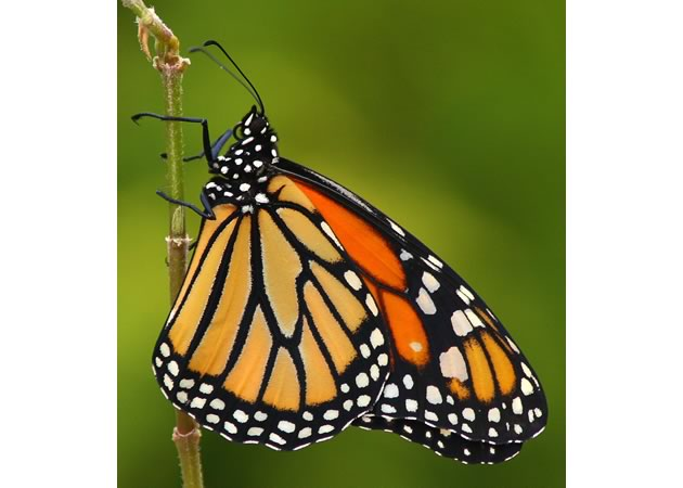 monarch side view