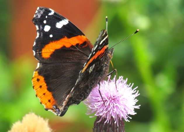 red admiral two