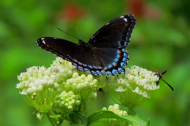 red spotted purple one