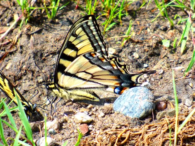 tiger swallowtail sipping minerals
