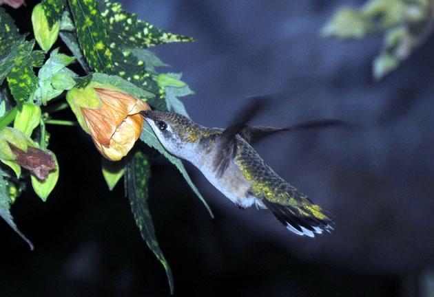 another hummingbird favourite, the annual abutilon