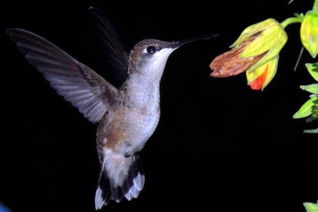 hummingbird at abutilon