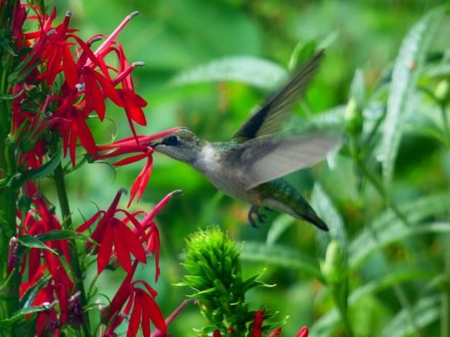 pollen transfer via hummingbirds head