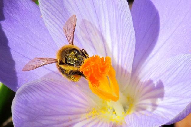 honeybee and crocus one