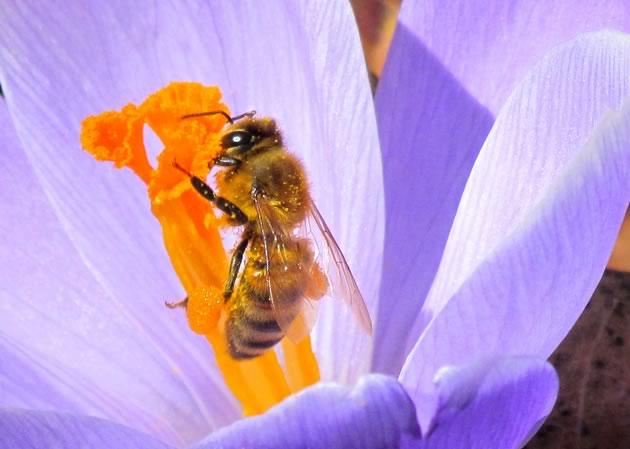 honeybee and crocus two