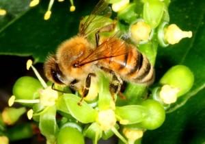 Honeybee on Boston ivy