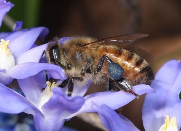 honeybee on chinodoxa