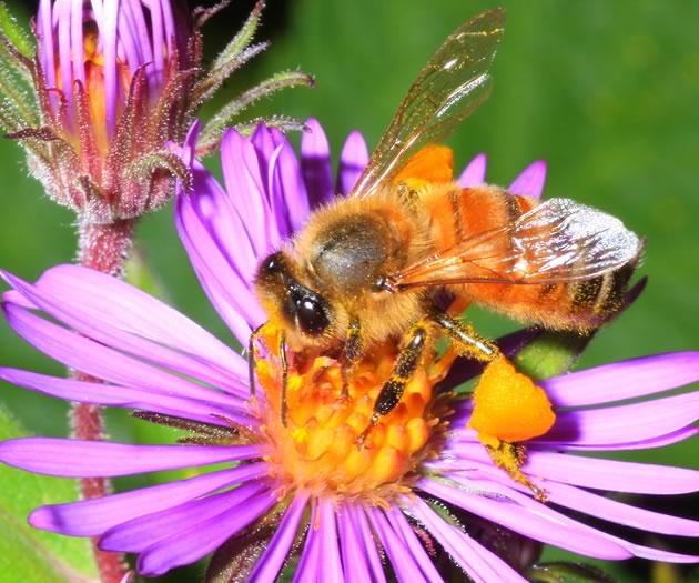 honeybee two