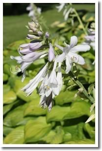 Hosta look instantly better from a deadheading.