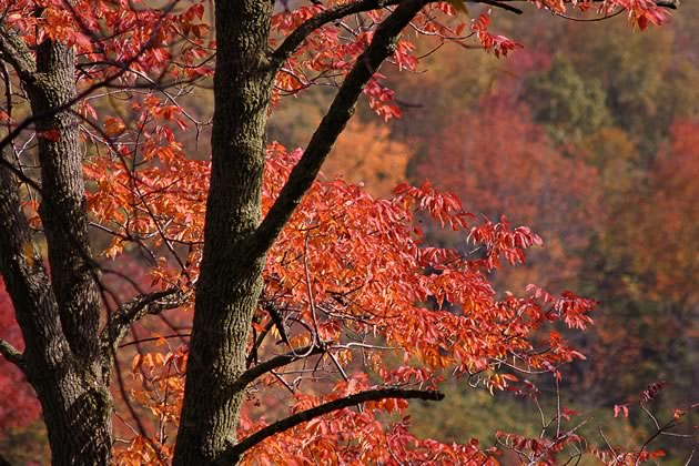 In autumn, ash trees can turn yellow, red, or purple. Photo by Don Scallen.