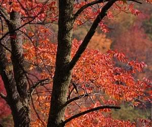 Ash Tree in the fall