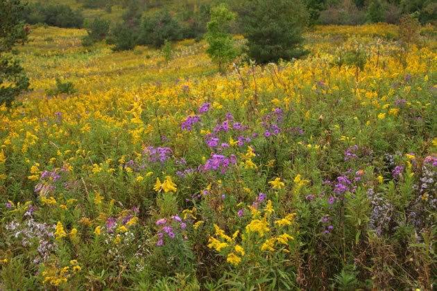 aster and goldenrod meadow