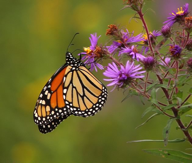 monarch nectaring on New England Aster
