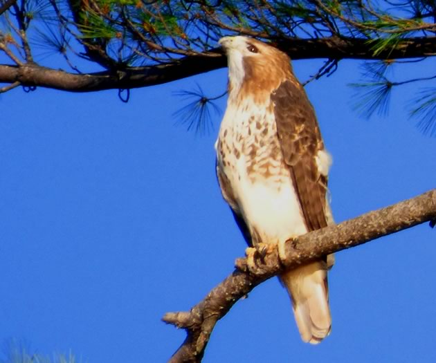 Red-tailed hawk in white pine