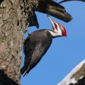 Pileated woodpecker in a tree. Photo by Ian Jarvie.