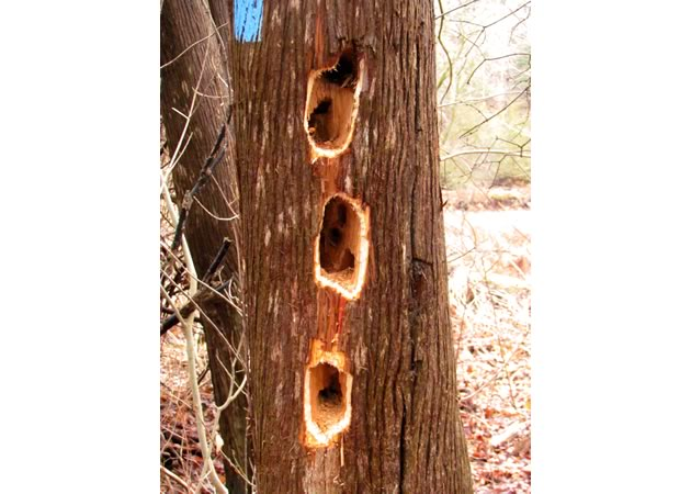 pileated woodpecker excavation in cedar