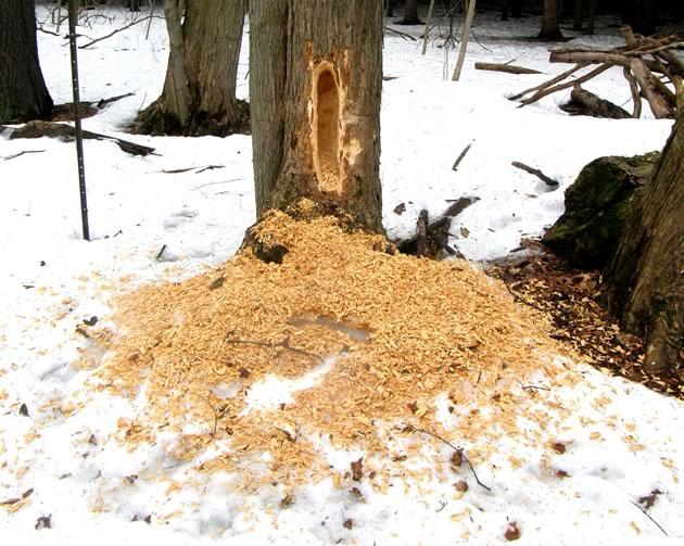 pileated woodpecker excavation