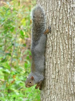 Gray squirrel showing off
