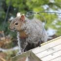 Squirrel triumphant atop the feeder