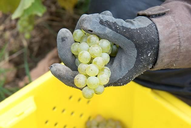 Adamo_8268_grapes