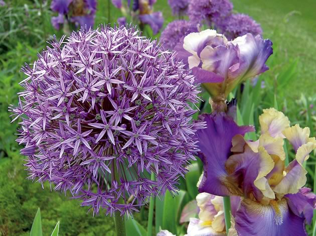 Ornamental Onion and Tall Bearded Iris