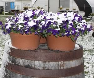 Snow on Violas