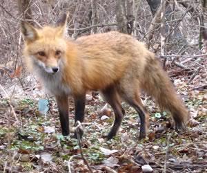 Red Fox courtesy Ian Jarvie