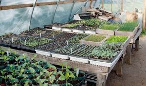 Seedlings for CSA produce are off to a great start in the greenhouse. Photo by Rosemary Hasner / Black Dog Creative Arts.