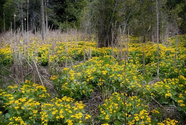 A spring riot of marsh marigolds in the wetlands of the Upper Credit in Caledon. Photo by Rosemary Hasner / Black Dog Creative Arts.