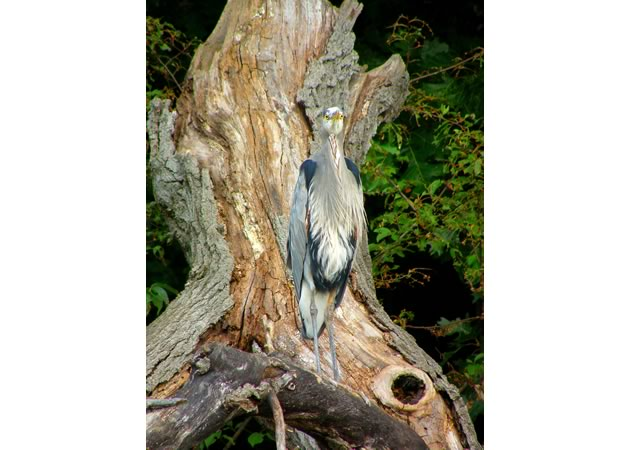 great-blue-heron-note-downward-orientation-of-eyes