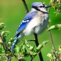 Blue jay in summer