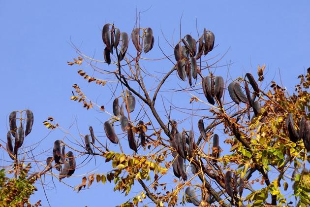 Kentucky Coffee Tree Seed Pods
