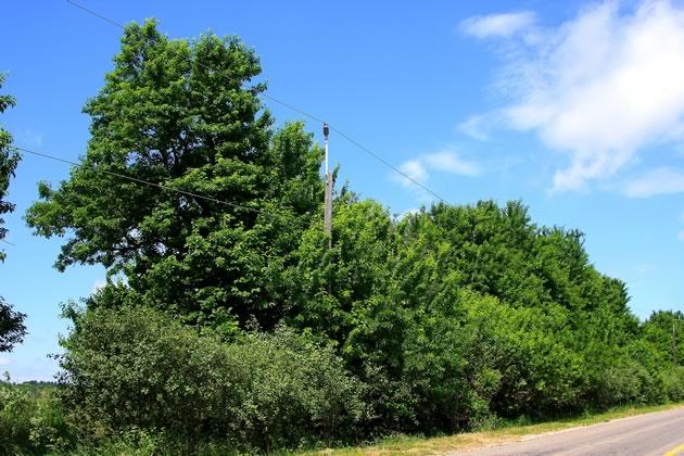 Osage Orange Hedgerow Caledon