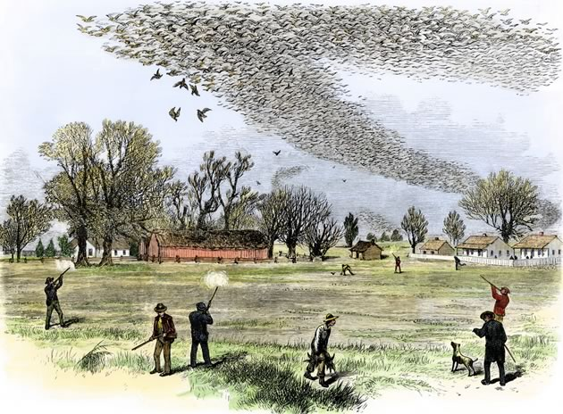 Once a regular food for pioneers, passenger pigeons were so numerous that witnesses described how they darkened the sky in the multi-millions, taking a full day to pass over. However, mass shoots in the mid-19th century so depleted their numbers that a sighting of ten birds near Orangeville in 1899 is believed to be the last flock ever seen. The lone survivor of the species died at the Cincinnati Zoo in 1914. Smith Bennett, Louisiana 1875.