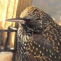 Starlings – Birds We Love to Hate