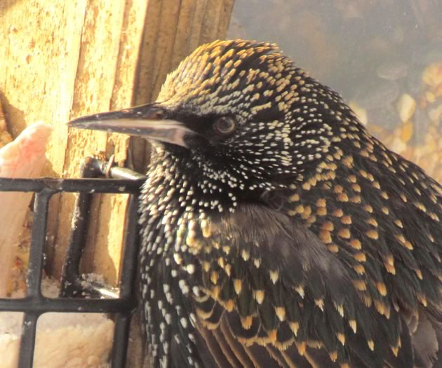 Starling at a feeder