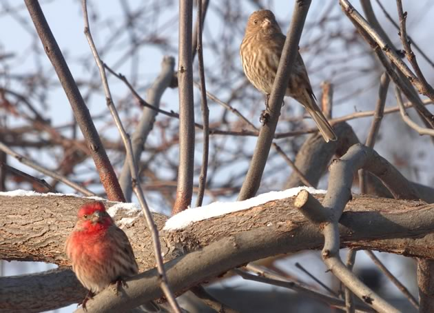 House finches male and female