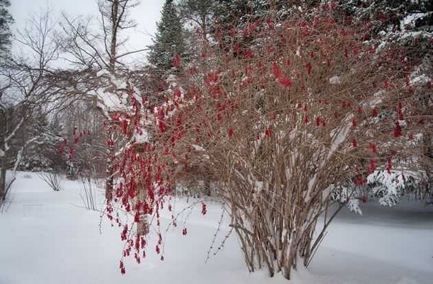 The Berberis koreana 'Red Tears' offers a hit of colour on the winter landscape. Photo by Rosemary Hasner / Black Dog Creative Arts.
