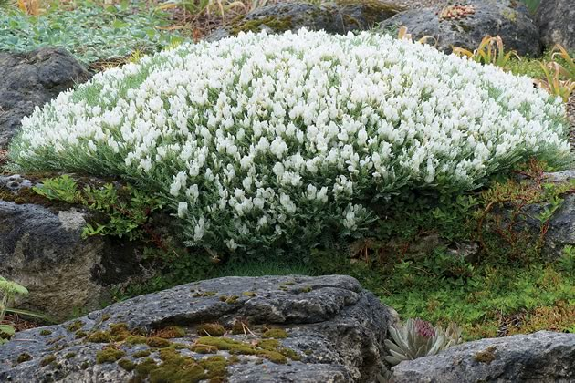 The white mounding Astragalus angustifolius grows in Turkey and here can grow to more than two feet wide. Photo by Rosemary Hasner / Black Dog Creative Arts.