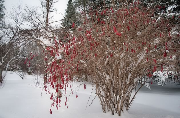 Berberis koreana 'Red Tears' is a winter showstopper. Photo by Rosemary Hasner / Black Dog Creative Arts.