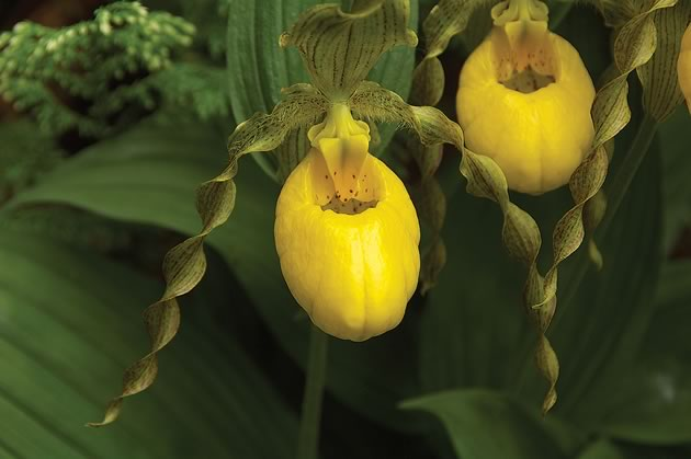 Knowles_Cypripedium-parviflorum