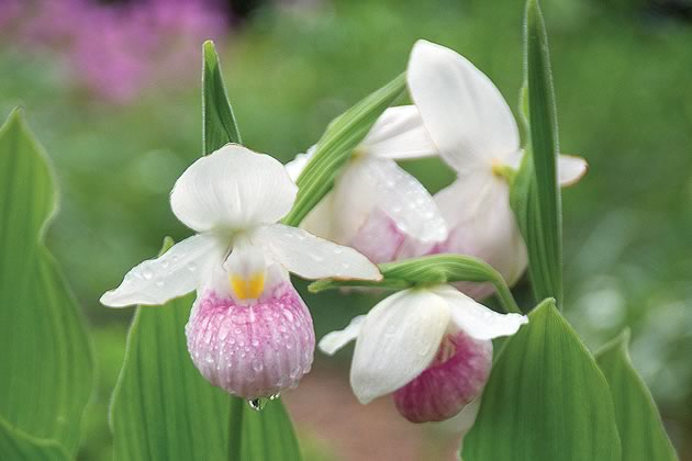 Knowles_Cypripedium-reginae