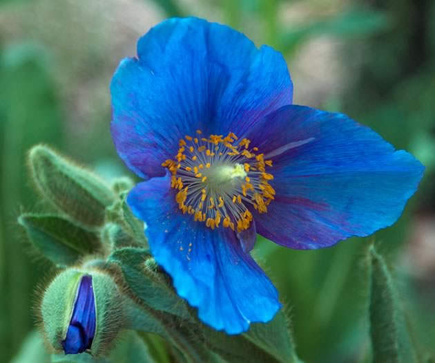 A cultivar of the famous blue poppy found in the Himalayas, Mecanopsis 'Lingholm' adds a surreal touch to the landscape. Photo by Rosemary Hasner / Black Dog Creative Arts.