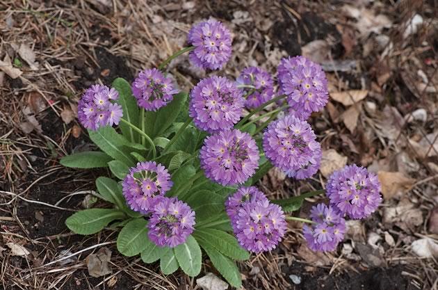 Liz has seen Primula denticulata in Bhutan, China and India. Photo by Rosemary Hasner / Black Dog Creative Arts.
