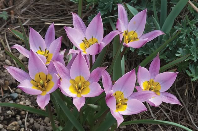 Liz has seen the yellow and pink Tulipa saxatilus in Crete. Photo by Rosemary Hasner / Black Dog Creative Arts.