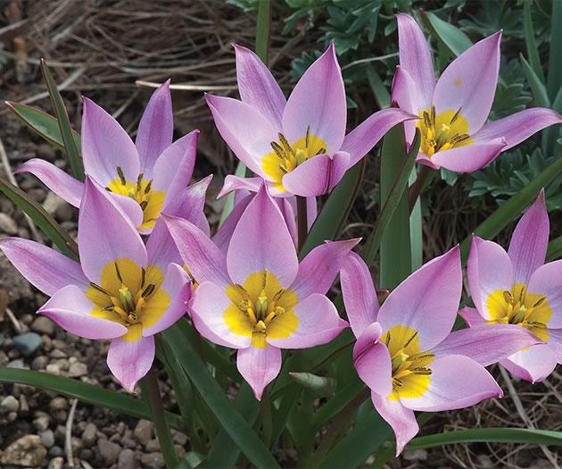 Yellow and pink Tulipa saxatilus. Photo by Rosemary Hasner / Black Dog Creative Arts.