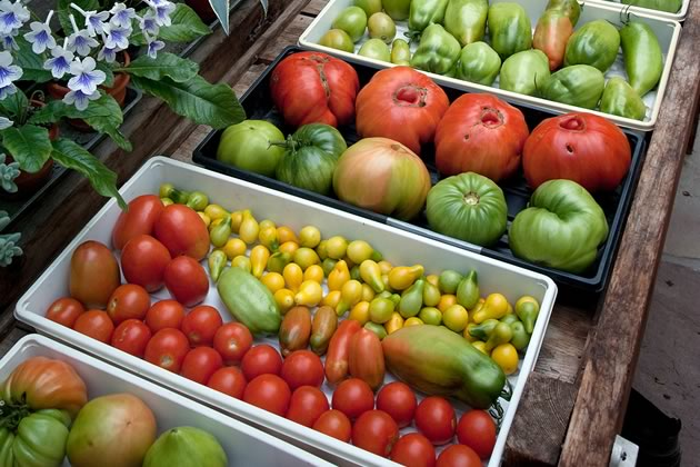 A bountiful harvest of tomatoes in the greenhouse at Larkspur Hollow. Photo by Rosemary Hasner / Black Dog Creative Arts.